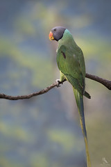 Slaty-headed Parakeet (Abhishek T) Tags: slatyheaded parakeet birds birding nature wildlife animals