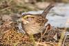 White-throated Sparrow (rdroniuk) Tags: birds smallbirds sparrows passerines whitethroatedsparrow zonotrichiaalbicollis oiseaux passereaux bruants bruantàgorgeblanche sedgewickforestoakville