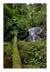 Selva (Pedro Pablo Orozco) Tags: colombia choco nuqui utria ensenadadeutria parquenaturalnacionalutria selva árbol cascada waterfall