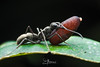 Ant and Pupa (CatchSoul) Tags: ant insect macro stack catchsoul nxk xuankien catchsouldiffuser