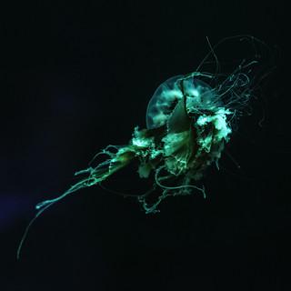 Man-Of-War Jellyfish II