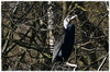 Le cormoran (BrigitteChanson) Tags: cormoran cormorano cormorant