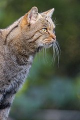 Profile of a wildcat, in a nice light (Tambako the Jaguar) Tags: wildcat wild cat feline profile picture face posing light vegetation tierparkgoldau zoo switzerland nikon d5