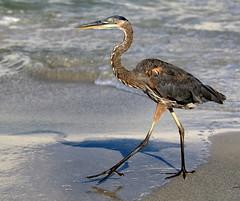 Strolling the Beach (Darts5) Tags: tricoloredheron tricolored heron herons bird birds wadingbird wading floridabird ftdesotopark 7d2 7dmarkll 7dmarkii 7d2canon ef100400mmlll closeup canon7d2 canon7dmarkll canon7dmarkii canon canonef100400mmlii
