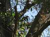 Pileated Woodpecker (stealth33770) Tags: largo largoflorida florida largonaturepreserve pileatedwoodpecker bird woodpecker