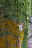 Moss and lichen (Blue Pelican) Tags: moss lichen tree january bark