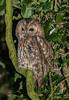 First Tawny of 2018 (ukmjk) Tags: tawny owl staffordshire stoke nikon nikkor d500 300mm f4 pf sb900
