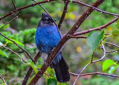 Stellar's Jay II (dbking2162) Tags: birds bird nature nationalgeographic glaciernational nationalparks wildlife blue jay stellarsjay montana mountains green trees outside outdoor