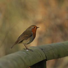 Robin on fence (N'GOMAPHOTOGRAPHY) Tags: birds nature robin jay woodpecker shovler duck goldeneye tufty woods nuthatch rabbit coventry warwickshire
