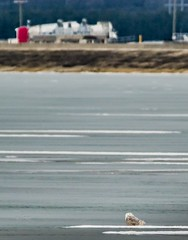 Safe on the ice . . . (Dr. Farnsworth) Tags: wastewater treatment owl bird female ice pond lagoon portapot sewage ambiance schiff muskegon mi winter january2018