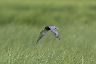 The challenging Black Tern