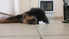 23915764_10214464112343533_2659491201989164259_n (natedetienne) Tags: ash tibetan mastiff puppy tm