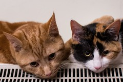 Cats on a hot Heater (Evoljo) Tags: heater cat pussy ears tawny ginger eyes fur look pets animals nikon d500