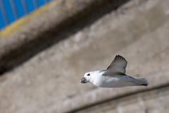 Fulmar in Flight (DGooding89) Tags: fulmar bird coastal sea flight ramsgate harbour thanet kent wildlife