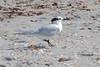 Sandwich Tern (Sterna sandvicensis); Englewood Beach, FL [Lou Feltz] (deserttoad) Tags: nature animal water park florida bird wildbird tern gull behavior beach