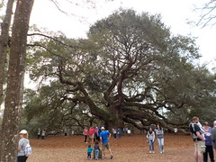 ANGEL OAK TREE: Johns Island, South Carolina (JuneNY) Tags: charlestonsouthcarolina charleston southcarolina angeloaktree