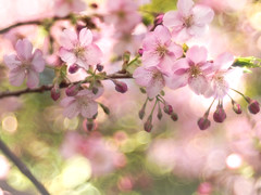 Cherry blossoms in February (Tomo M) Tags: 河津桜 kawazucherryblossoms earlyblooming bokeh blur bubblebokeh trioplan pink green spring petal springcolor bud 三浦海岸