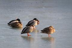 Nap on the water (Sven Bonorden) Tags: ducks water ice wasser enten eis gefroren see lake schlosspark bückeburg schaumburglippe tiere animals frozen winter canon
