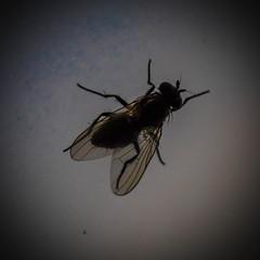 Fly (raymond_zoller) Tags: canon fliege insekt lightroom fly mosca mouche муха мува насекомое тварь ბუზი