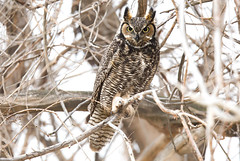 Great Horned Owl (lauren_larsenn) Tags: great horned owl bird wild raptor eastern oregon pacific northwest lauren larsen wildlife photography pair laurenlarsen wildlifephotography greathornedowl pacificnorthwest easternoregon