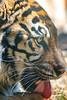 Kali ♀ - Sumatran Tiger (Belteshazzar (AKA Harimau Kayu)) Tags: kali zoo tiger cat asian asiancat bigcats sumatran pantheratigrissumatrae animal sumatratiger tigredesumatra суматранскийтигр tygrsumaterský tygryssumatrzański sumatraansetijger szumátraitigris uenozoologicalgardens tigre тигр tygr tijger tigris fuengirola spain ueno 수마트라호랑이 苏门答腊虎 虎 tokyo hổsumatra sumatrakaplanı เสือโคร่งสุมาตรา सुमात्रनवाघ სუმატრისვეფხვი טיגריססומטרה harimausumatera ببرسوماترایی predetor beast carnivorous flesheating tiikeri sumatrantiikeri the spaniard mr wonderful hypnotic portrait brytne toronto rengat зоопарк уэно canadianbeauty torontozoo higashiyamazoologicalgardens zoorasia yokohama zoological gardens kanagawa japan