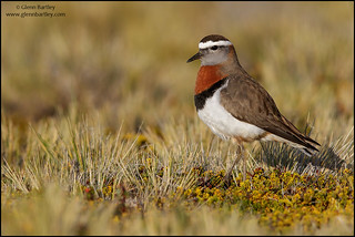 Rufous-chested Dotterel (Charadrius modestus)