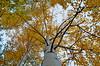 Tree Leaves in Autumn (pokoroto) Tags: tree trunk autumn calgary カルガリー アルバータ州 alberta canada カナダ 10月 十月 神無月 かんなづき kannazuki themonthwhentherearenogods 平成29年 2017 october