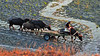 herdsman.... (Jinky Dabon) Tags: fujifilmfinepixhs35exr livestock breedscattle cattle domesticanimals pasture rurallife farmer farmers animal waterbuffalo waterbuffaloes lahar mountpinatubo craterlake volcano volcanoeruption grass rock