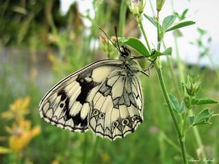 Butterfly 1562