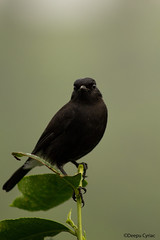 Pied Bushchat (Deepu Cyriac) Tags: indianforest wildlife westernghats nature birds bird anamalaitigerreserve atr anamalais valpara valparai piedbushchat bushchat travel tamilnadu