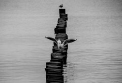 Zingst Winter IV (janmalteb) Tags: deutschland germany zingst fischland darss winter wasser water meer sea baltic ostsee ocean ozean buhnen breakwater möwen segulls möwe seagull canon eos 77d tamron 18200mm monochrome monochrom black white blackwhite