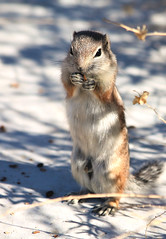 Ground squirrel (Monkeystyle3000) Tags: ground squirrel wildlife white tailed antelope