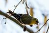 305.jpg (Kico Lopez) Tags: miño lugo aves rio birds spinusspinus galicia spain jilguerolúgano