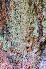 171011_112736_AB_1637 (aud.watson) Tags: canada westvancouver seatoskyhwy route99 pointatkinson horseshoebay burrardinlet lighthousepark beaconlane pointatkinsonlighthouse built1871 westernhemlock tsugaheterophylla douglasfir pseudotsugamenziesii westernredcedar thujaplicata britishcolumbia temperaterainforest coast coastline forest wood tree trees gymnosperms conifer conifers pine pines spruce bark oldgrowthforest trunk ca