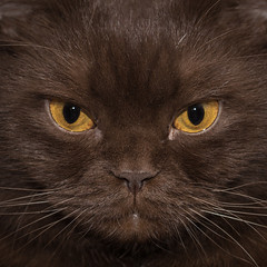 Brown cat (markus.weinriefer) Tags: cat brown animal fur indoor furry domestic adorable purebred chocolat