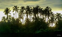 Hawaii-LonePalm-2.jpg (Chris Finch Photography) Tags: shoreline sunset kohala volcano chrisfinchphotography blacksandbeach ʻanaehoʻomalubay goldcoast landcapes landscape waikoloa sunsets pacificocean abay hawaiianphotography hawaii kohalacoast kiholobay landscapephotographs hawaiiphotography keawaikibay landscapephotographer beach ocean utahphotographer wwwchrisfinchphotographycom chrisfinch volcanoes shore lonepalm lone landscapephotography coast pacific bigisland