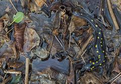 Spotted Salamander (cre8foru2009) Tags: spottedsalamander ambystomamaculatum amphibian nature herping