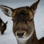 Deer at Wildpark Poing near Munich, Bavaria, Germany thumbnail