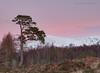 Caledonian Pink (calderdalefoto) Tags: caledonian pine scots scotland sunset landscape