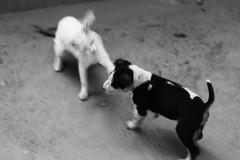 The SLAP (N A Y E E M) Tags: cat pussy puppy dog pet lawn home yesterday morning rabiarahmanlane chittagong bangladesh fight