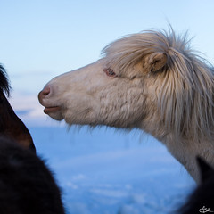 I am a star ⭐️ (**Meg's Photos**) Tags: cheval islande iceland norðurlandvestra is