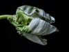 Papageientulpe halb offen 2 von 3 (harald.spies) Tags: makro stack tulpen
