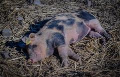 Afternoon nap (frankmh) Tags: animal piglet pig linderödpig fredriksdal helsingborg skåne sweden outdoor