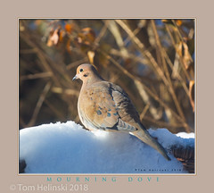 Mourning Dove (tomh2m) Tags: bird dove mourningdove