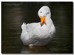 American Pekin Duck (Betty Vlasiu) Tags: american pekin duck white bird nature wildlife