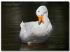 American Pekin Duck (Betty Vlasiu) Tags: american pekin duck white bird nature wildlife