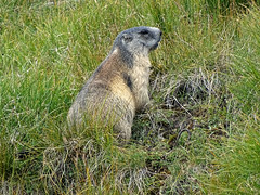 Austria '17 (faun070) Tags: murmeltier grossglocknerstrasse austria wildlife marmot alpinemarmot mammal