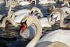 Swans on the Rhine (denismartin) Tags: denismartin germany allemagne badenwürttemberg breisach rhein rhin river winter swan bird cygne schwan rhineplain blackforest schwartzwald