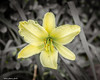 Yellow Bliss (that_damn_duck) Tags: nature plant petals stems blossom blooming