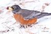 IMG_7053 red robin (starc283) Tags: flickr flicker wildlife starc283 bird birding birds outdoors outdoor robin americanredrobin redrobin nature naturesfinest nebraska